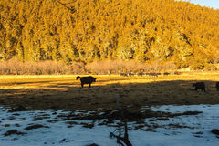 Yaks. Grazing on pasture in Pudacuo National Park, Shangri-la, China Royalty Free Stock Photos