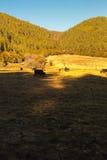 Yaks. Grazing on pasture in Pudacuo National Park, Shangri-la, China Stock Photo