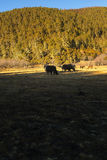 Yaks. Grazing on pasture in Pudacuo National Park, Shangri-la, China Stock Photos