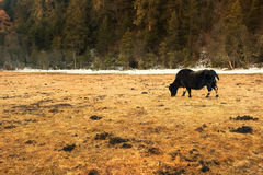 Yaks. Grazing on pasture in Pudacuo National Park, Shangri-la, China Royalty Free Stock Photography
