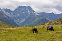 Yaks grazing in tibetan highlands Stock Photos