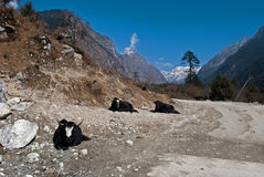 Yaks grazing in Yumthang valley Royalty Free Stock Photos