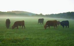 Yaks herd of grazing. Grazing yaks at sunrise in mist royalty free stock photo