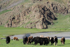 Yaks herd Royalty Free Stock Photography