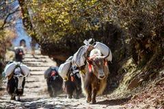 Yaks het geven gewicht in Nepal Stock Fotografie