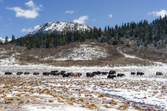 Yaks in high altitude snow prairie Royalty Free Stock Photo