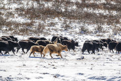 Yaks in high altitude snow prairie Royalty Free Stock Image