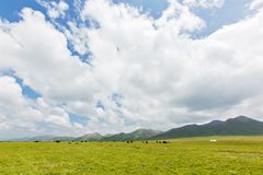 The yaks in the highland meadows 2. The yaks in the highland meadows with white cloud and blue sky at Qinghai province of China stock photography