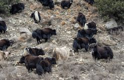 Yaks on the Hillside. Some yaks standing on a steep hillside in northern Nepal royalty free stock photos