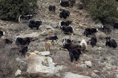 Yaks on a Hillside. Some yaks standing on a steep hillside in northern Nepal stock image