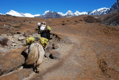 Yaks in Himalayas Stock Photos