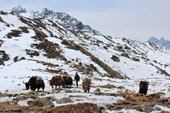 Yaks in the Himalayas. Yaks looking for food near Gorakshep, Nepal stock image