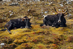 Yaks in Himalayas. Yaks resting on meadow in Himalayas mountains Royalty Free Stock Images