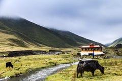 yaks i grässlätten Arkivbild