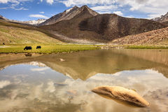 Yaks in Ladakh Royalty Free Stock Photography