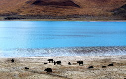 Yaks by the lakeside Royalty Free Stock Photos