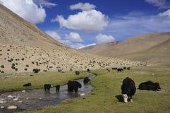 Yaks. A landscape with yaks in Ladakh, the himalaya of India Stock Image