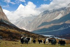 Yaks in Langtang valley Royalty Free Stock Photos