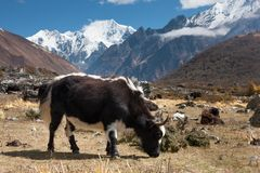Yaks in Langtang Valley, Langtang National Park, Rasuwa Dsitrict, Nepal Royalty Free Stock Images