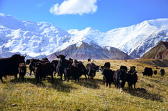 Yaks at Lenin Peak basecamp Stock Images