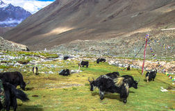 Yaks. Majestic yaks grazing and enjoying their life in the pure nature in the valley of ladakh Stock Image