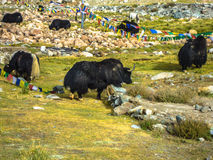 Yaks. Majestic yaks grazing and enjoying their life in the pure nature in the valley of ladakh Royalty Free Stock Image