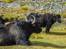 Yaks. Majestic yaks grazing and enjoying their life in the pure nature in the valley of ladakh Royalty Free Stock Images