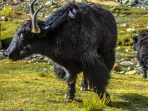 Yaks. Majestic yaks grazing and enjoying their life in the pure nature in the valley of ladakh Stock Photography