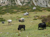Yaks on meadow near Yak Kharka, Nepal Stock Photo