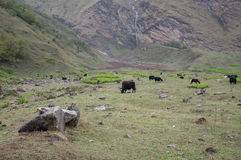 Yaks in a Meadow. Some yaks grazing in a meadow in the early morning with a waterfalls in the background Stock Photo