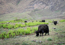 Yaks in a Meadow. Some yaks grazing in a meadow in the early morning with a waterfalls in the background Royalty Free Stock Images