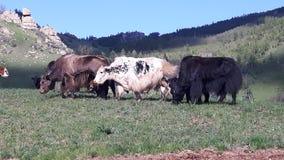 Yaks in Mongolië royalty-vrije stock foto