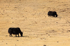 Yaks in Mongolia. On an Indian summer stock photography