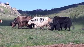 Yaks in Mongolia. Yaks in Terol national park royalty free stock photo