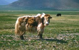 Yaks mongols Photos stock