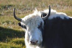 Yaks mongols Image libre de droits