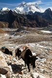 Yaks and mount Everest. And mount Lhotse from Renjo pass, gokyo valley, Nepal himalayas Stock Photography