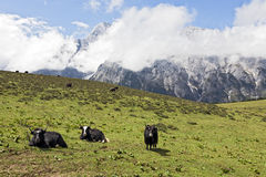 Yaks of the Mountains. Yaks take a rest in the afternoon sunshine high up Jade Dragon Snow Mountain in Lijiang in northern Yunnan province in China royalty free stock images