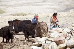 Yaks in Ladakh, India. Yaks among the mountains In Ladakh region in the Indian state of Jammu and Kashmir Royalty Free Stock Image