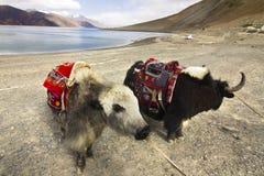 Yaks na frente do lago Pangong foto de stock royalty free