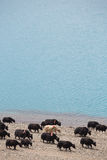 Yaks on the Namtso Lake in Tibet Stock Photos