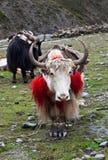 Yaks nel Nepal Himalaya Fotografia Stock