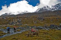 Yaks in Nepal stock foto's