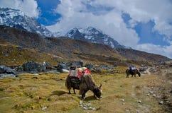 Yaks in Nepal. Yaks in the Everest base camp trek Stock Photos
