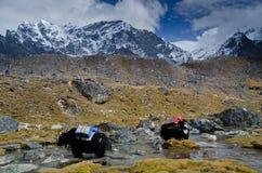 Yaks in Nepal royalty-vrije stock foto's