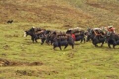 Yaks in Nepal Stock Photo