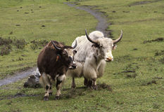 Yaks in nepal Stock Photography