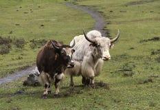 Yaks in nepal. Couple of yaks in nepal mountain stock photography