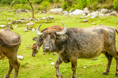 Yaks in Nepal Stock Photo