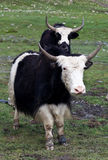 Yaks in the Nepal Himalaya Stock Photos